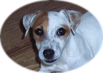 jack russell for adoption