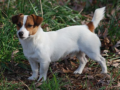 Jack Russell Terriers Sire S For Breeding Fox Fire Jacks