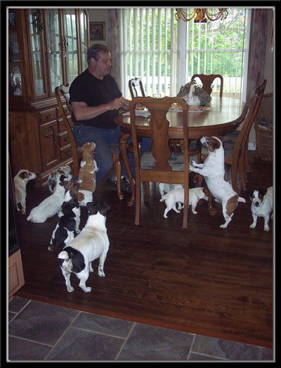 Jack Russell Terrier Breeder - Puppies for Sale | Fox Fire Jacks